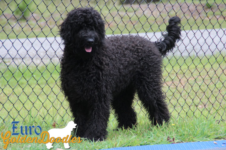 Information About The English Teddybear Goldendoodle Breed