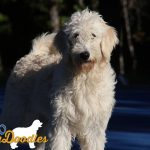 Olive and Amos English Goldendoodle puppy- Ivy- 8 months