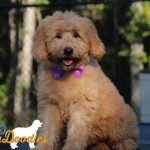 Tessa and Aspen Goldendoodle puppy- 14 weeks