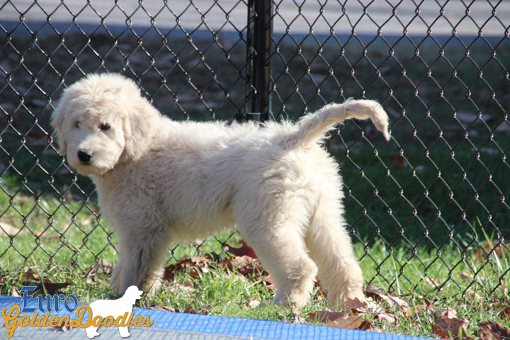 Kami and Amos Sept 2016 English Goldendoodle litter- 14 weeks