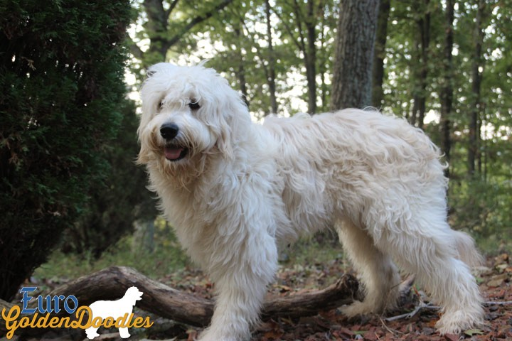 A handsome English Teddybear Goldendoodle stud taking a hike