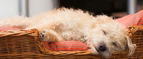 goldendoodle-bed