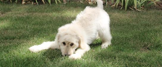 socializing-puppy