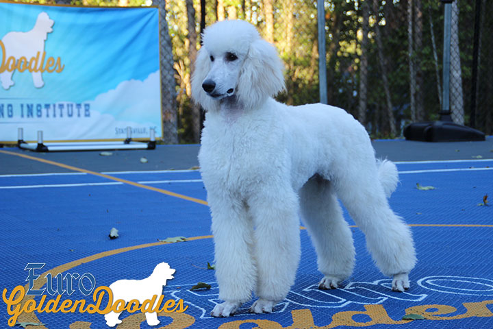 Becks Euro Goldendoodles Breeders Of English Goldendoodles