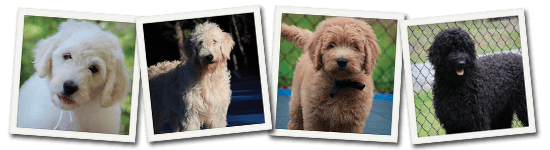 English Goldendoodle Puppy header photos
