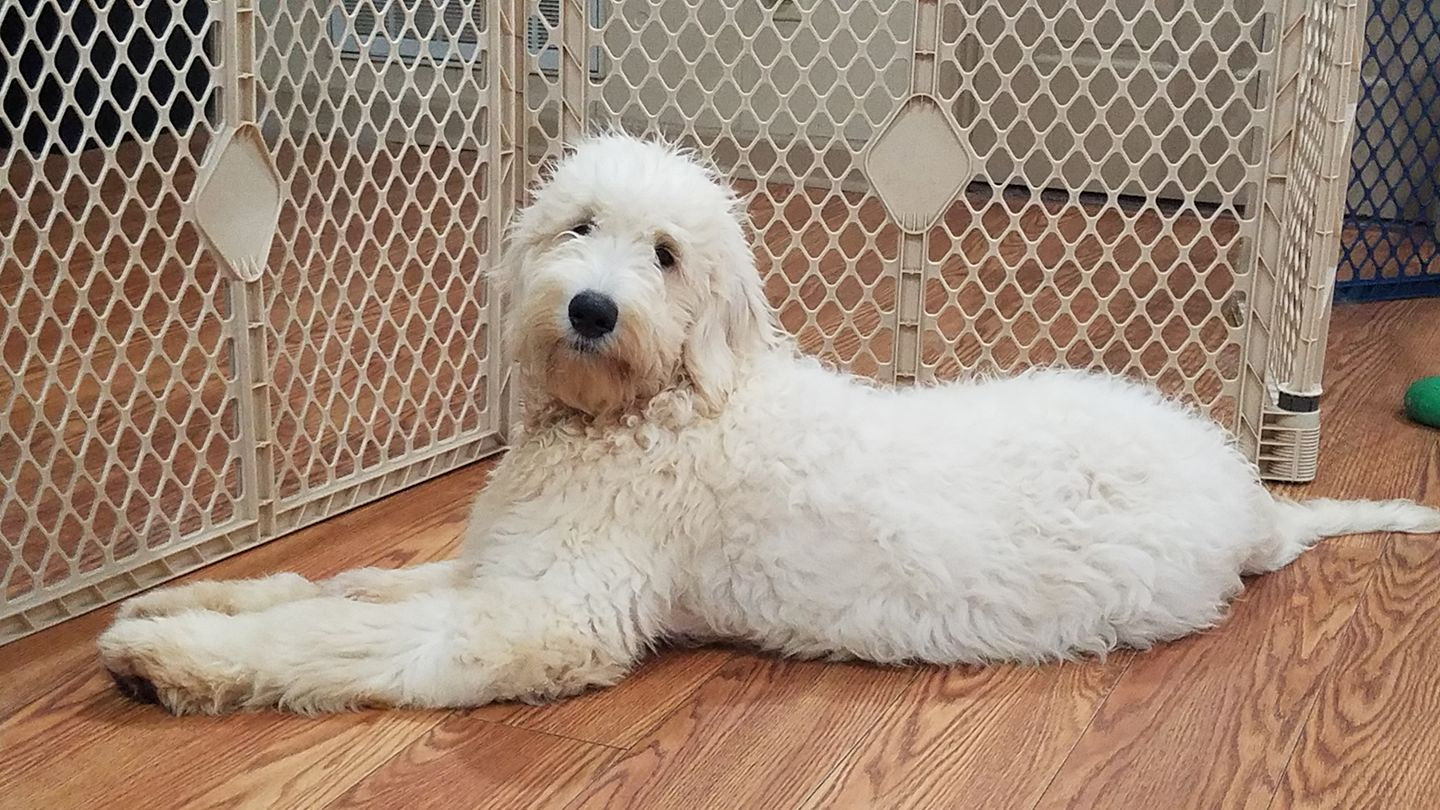 Preparing Your Home For Your New Goldendoodle Puppy