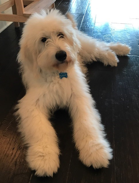 Euro GoldenDoodles' customer reviews and ratings