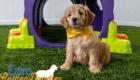 Rosie_Apollo_Aug2020_8Wks_Mr. Yellow (3)