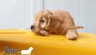 Rosie_Apollo_Aug2020_8Wks_Mr. Yellow (4)
